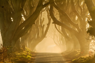 Sunshine lighting up the early morning mist at the Dark Hedges in Co. Antrim. The beech lined road was already famous, even before being used as the filming location for the Kings Road in Game of Thrones.